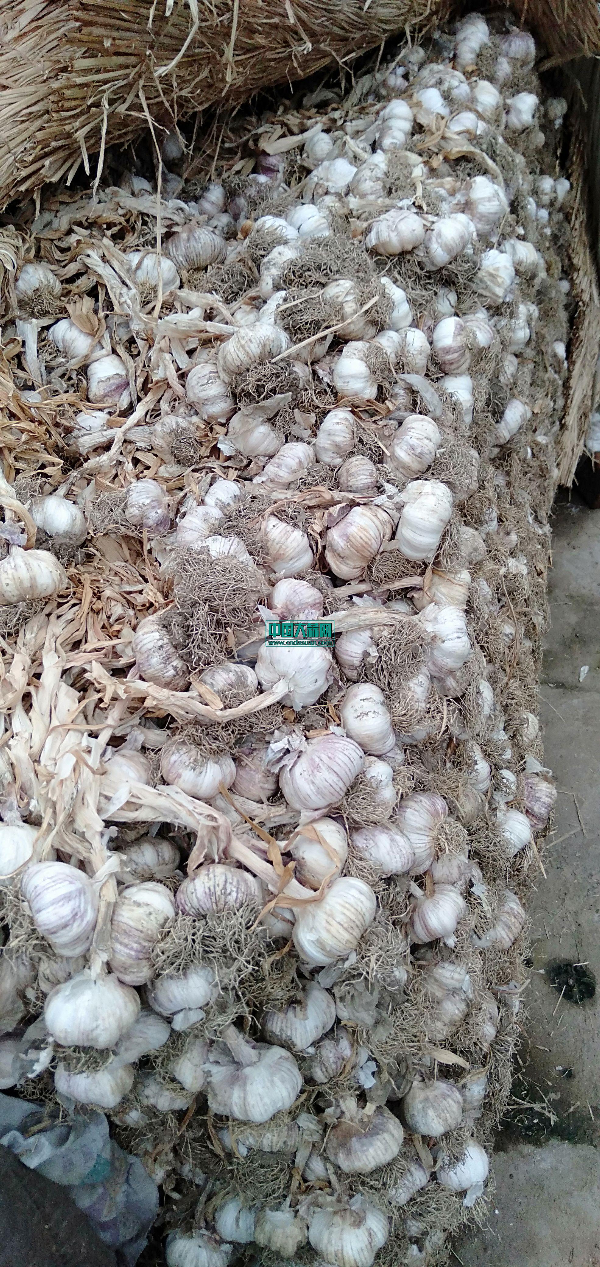 大量供应优质毛蒜