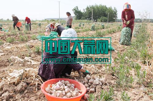 安徽界首:大蒜喜获丰收 农户增加收入